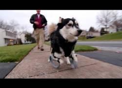 Gehandicapte hond Derby krijgt nieuwe voorpoten