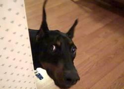 Dobermann hond een geschikte gezinshond