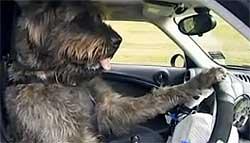 Hond bestuurd een auto
