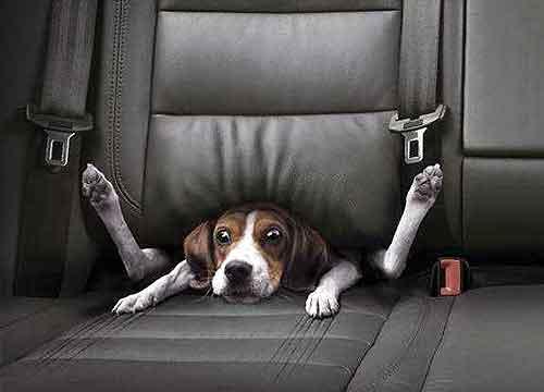 Hond op achterbank mee in de auto